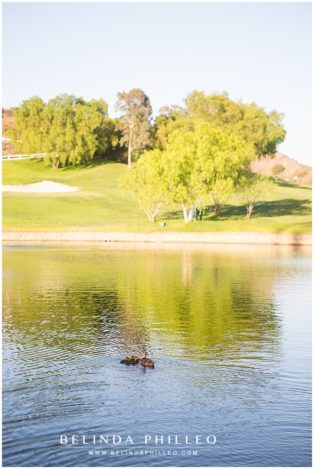 baby ducks swim at Black Gold Country Club in Yorba Linda, CA